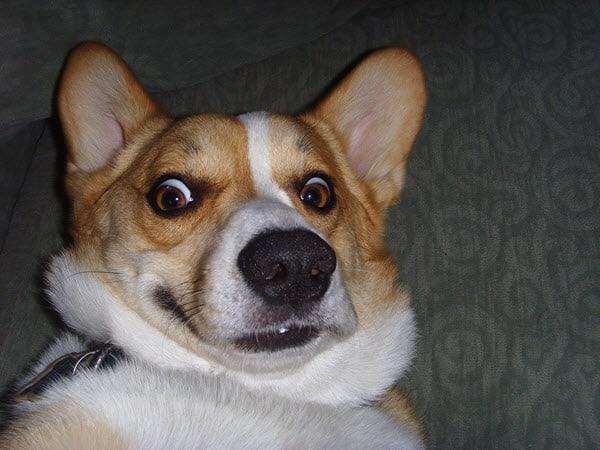 surprised face corgi meme