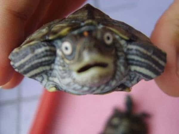 surprised face turtle meme