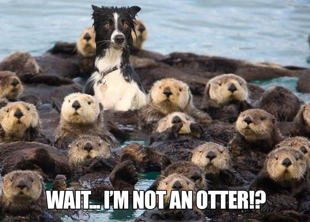 I'm not an Otter Meme