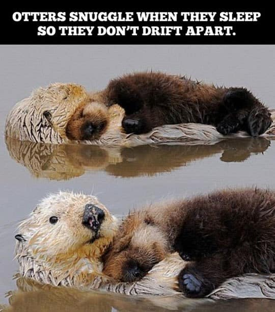 Otters snuggles when they sleep Otter Meme