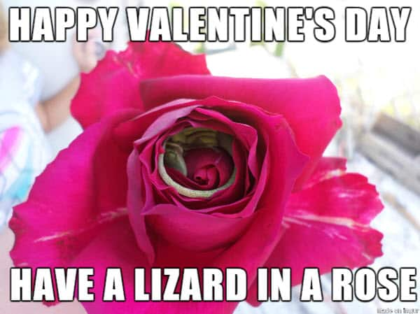 funny valentines have a lizard iin a rose meme