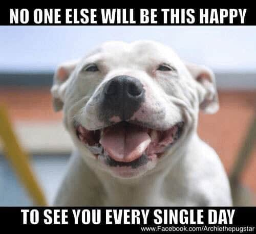 happy pitbull memes