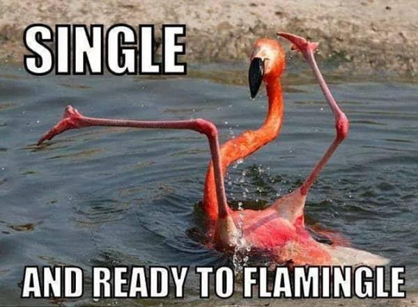 single ready to flamingle meme