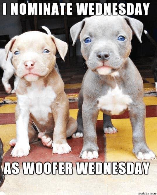 woofer wednesday meme